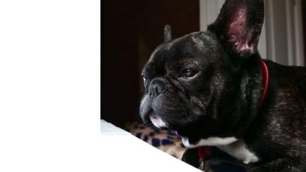 kutya tenyészt francia bulldog szomorú üvölt