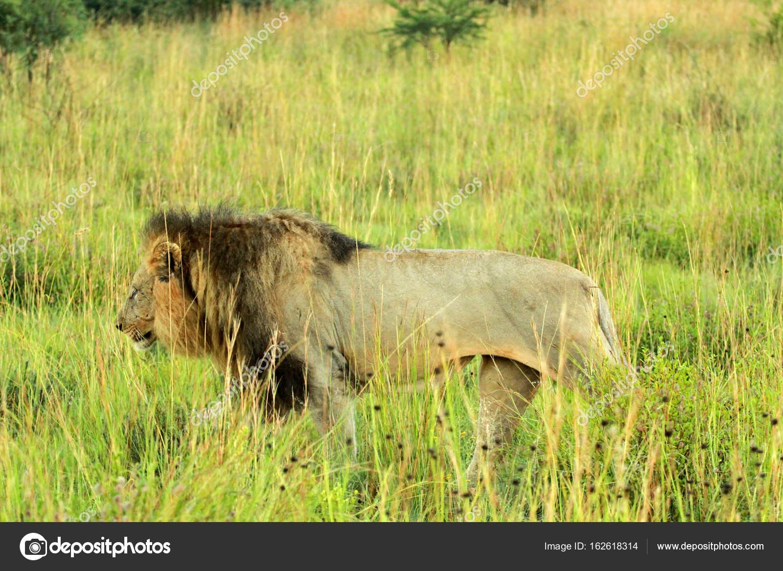 ライオン、ピラネスバーグ国立公...