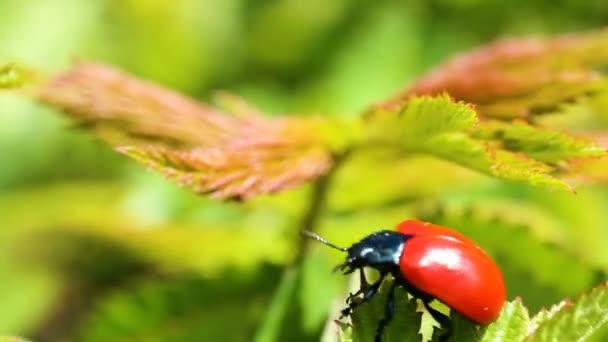 Red ladybug crawl on green leave