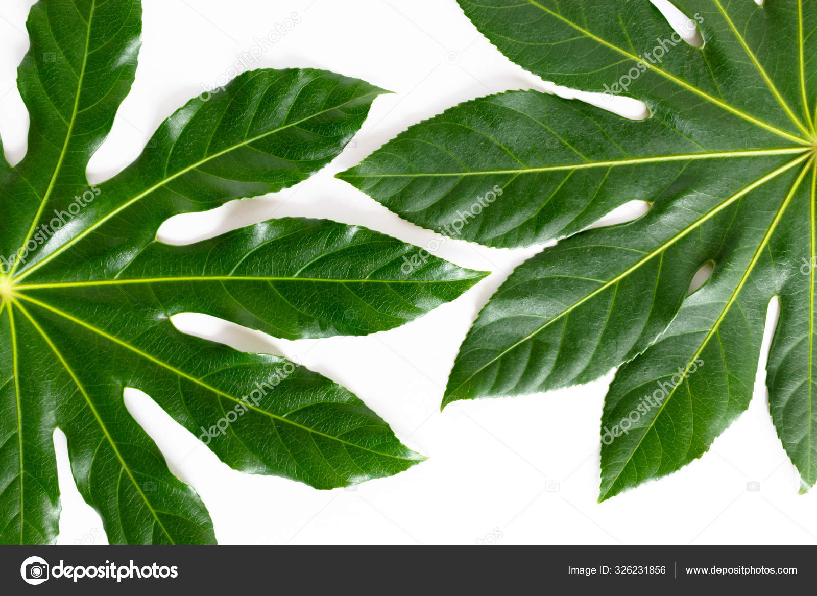 Texture Green Tropical Leaves White Background Stock Photo C Rorygezfresh 326231856 Images photos vector graphics illustrations videos. depositphotos