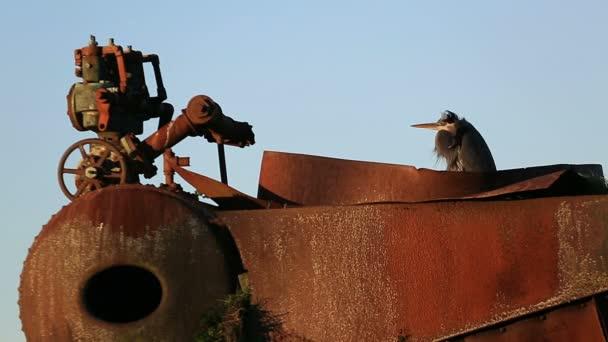High Definition Closeup Video Eines Vogels Heron Rast Und Warm ...