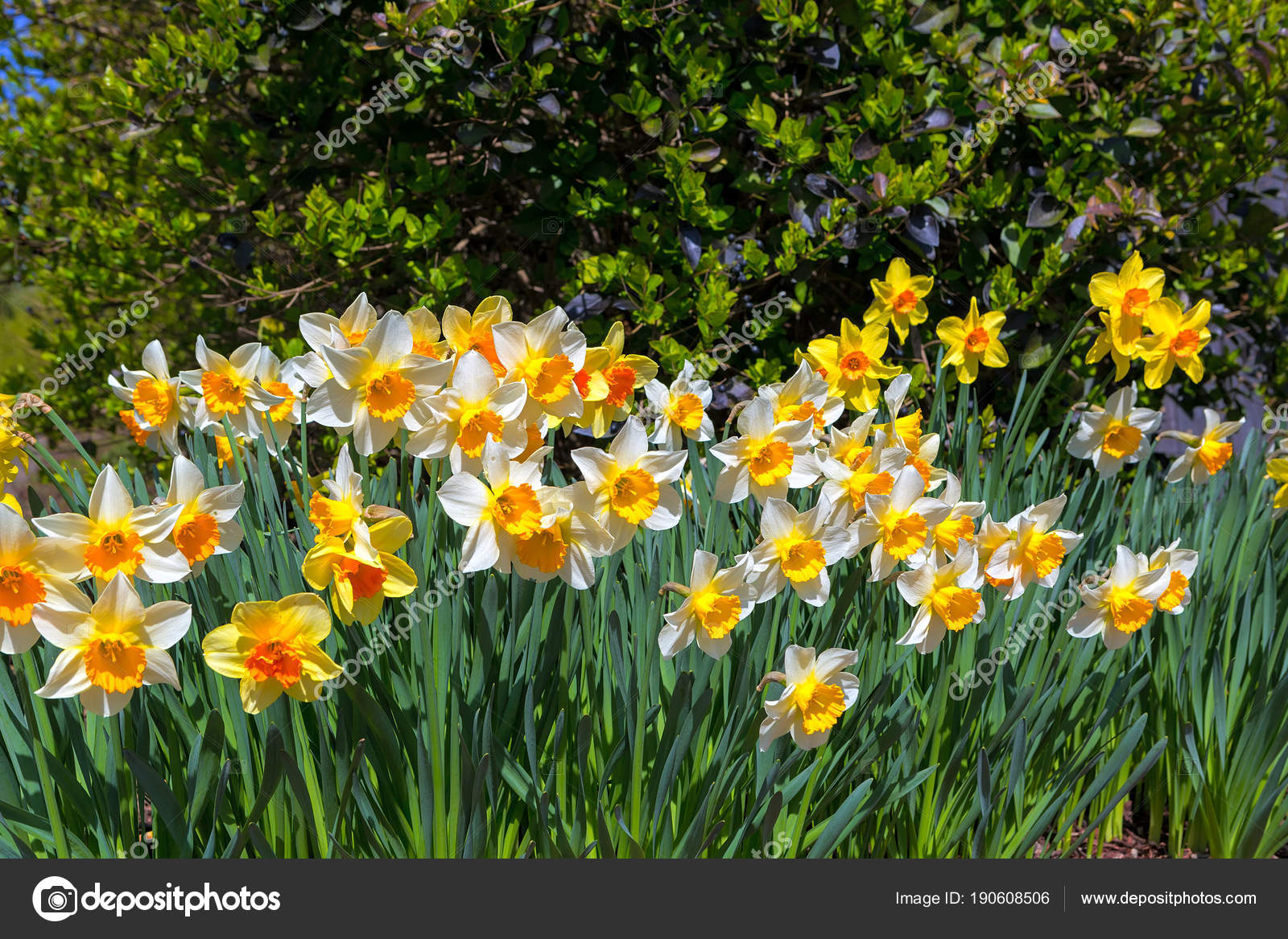 Daffodils Flowers Blooming In Spring Stock Photo Jpldesigns