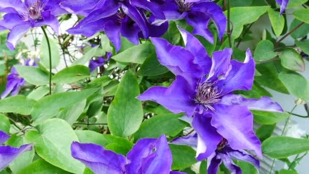 Detail Clematis květina v Garden.Panning