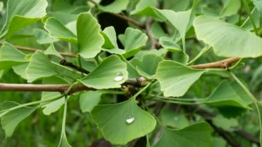 Detail of Ginkgo Leave with Drops of Water. Zoom in.