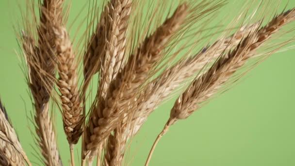 Sheaf of Barley on the Green Background. Tilt.
