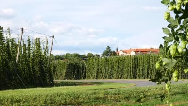 Chmelové pole před sklizní ve Stekníku vesnici. Česká republika.