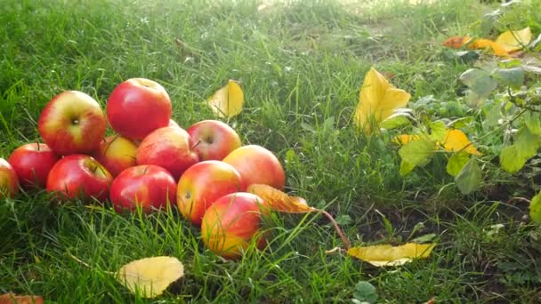 Red Apples in the Grass. Panning.