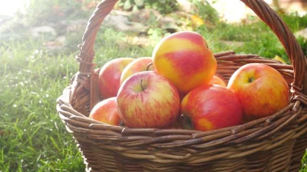 Červená jablka do koše v zahradě. Posouvání.