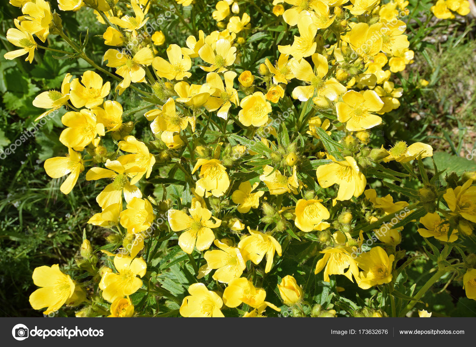 Detail Of Flowers Of Canary Buttercup Gran Canaria Stock Photo