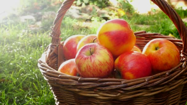 Red Apples in the Basket in the Garden. Panning.