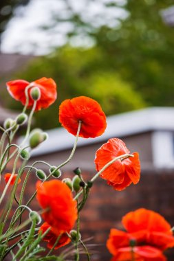 Blooming Poppy Flower in Brecon Beacons in South Wales