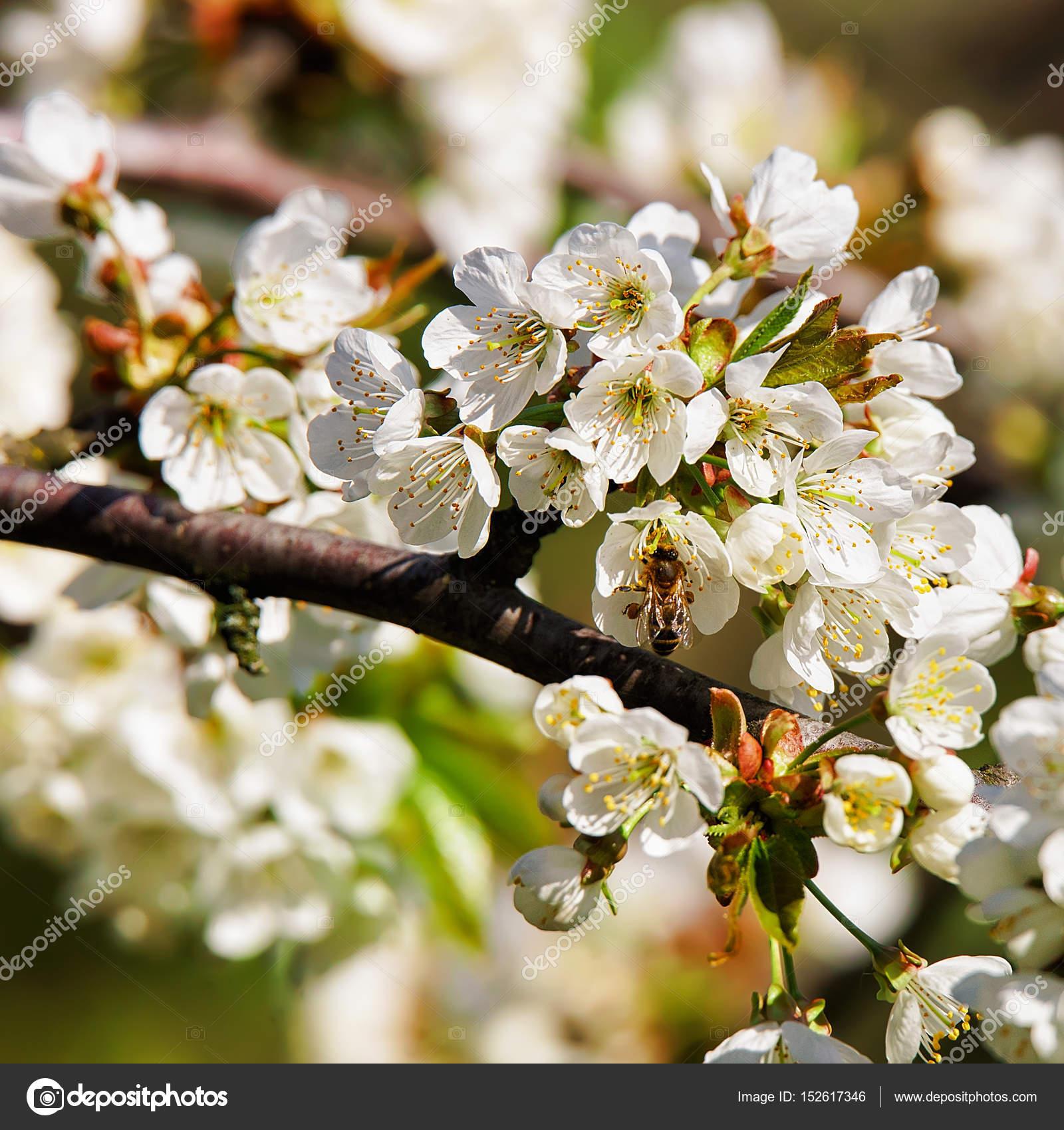 Abeille Dans Sakura Ou Cerisier Blanc Fleurs Floraison Printani Re