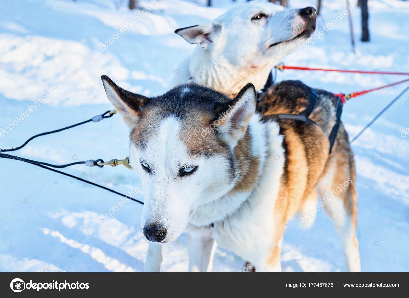 Caes Husky Em Treno Na Floresta De Inverno Em Rovaniemi Stock Photo C Erix2005 177467676