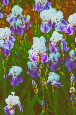 Purple and white Iris in Kitchen garden in Audley spring