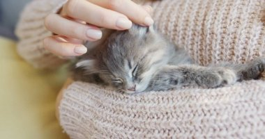 Close up of nice little kitty sleeping on the womans hands in the warm pink sweater. Indoors