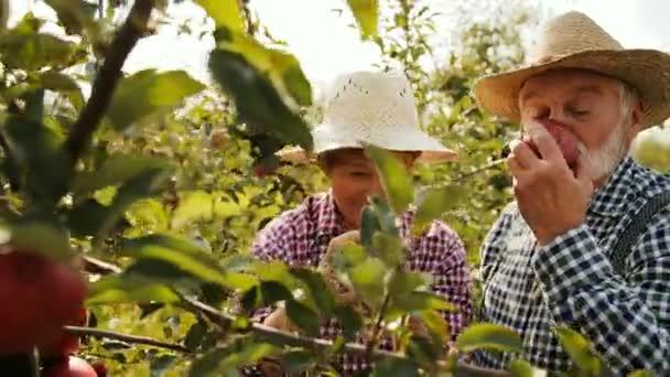 Starý farmář šťastný s manželkou usmál se škubání jablka ze stromu a vonící krásné slunné zahradě. Čas pro sklizeň. Venku. Zblízka. Portrét