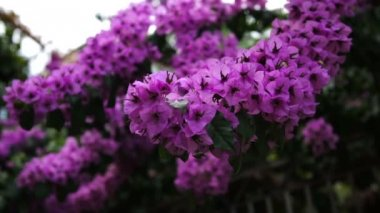 Close up of the amazing violet blossoms of the flowers on the tree or bushes on the light breeze. Outdoors