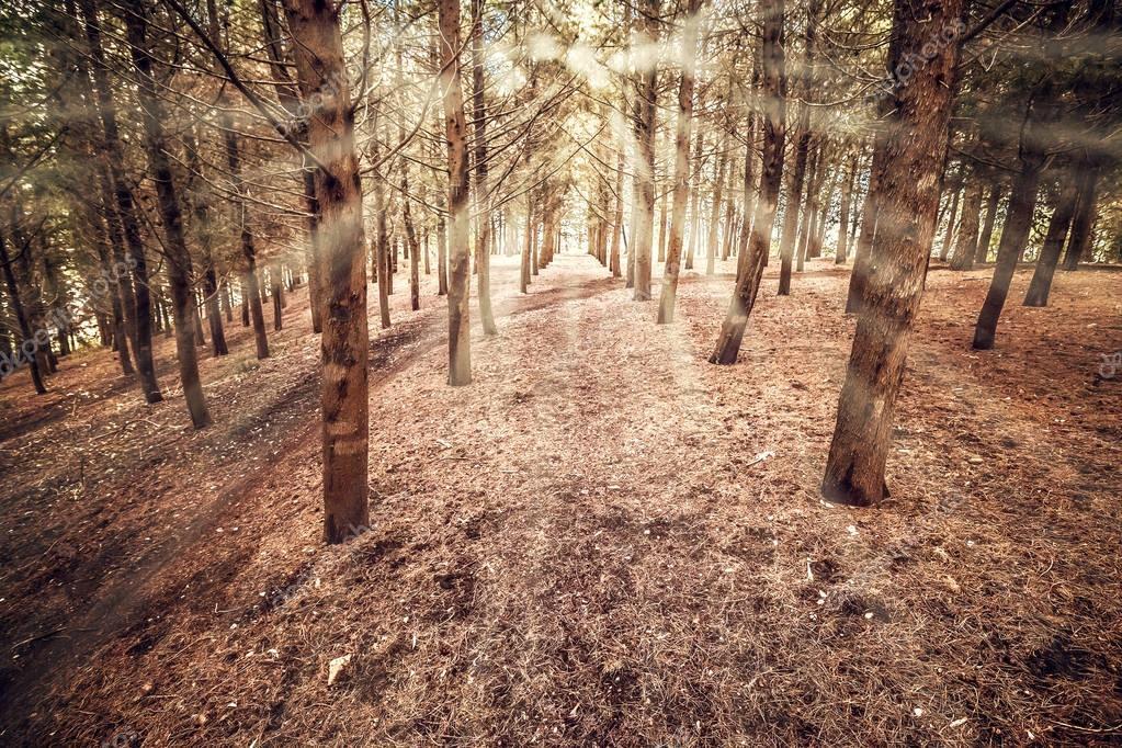 Фотообои солнечный лес с деревьями луч света рано утром