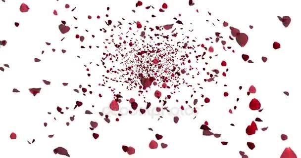 červené barevné okvětní lístky růže létající animace na bílém pozadí, láska a valentine den