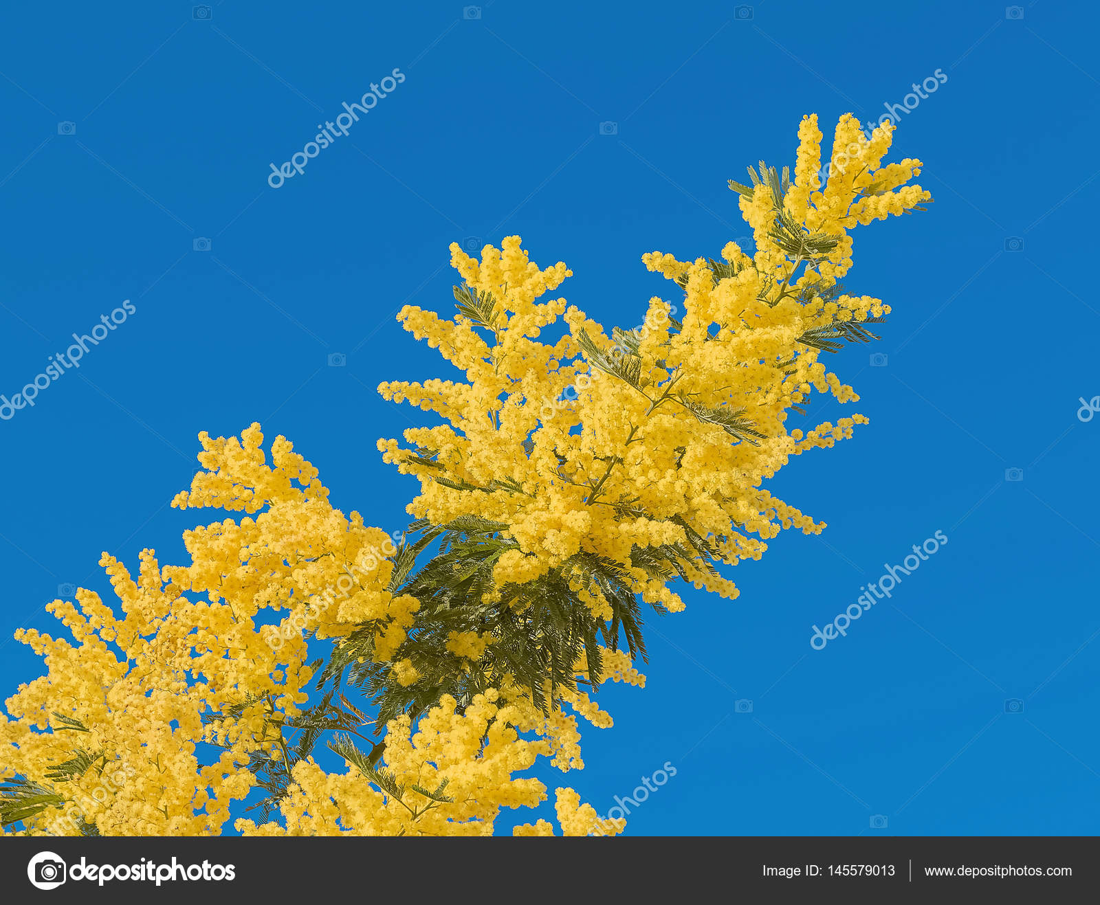 Yellow mimosa flower with leaf on tree on blue sky symbol women day yellow mimosa flower with leaf on tree on blue sky symbol women day stock mightylinksfo