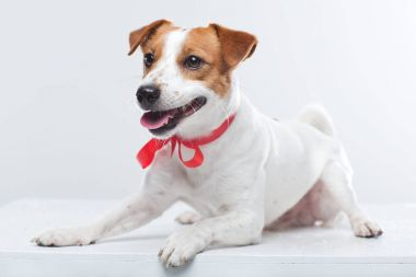 Jack Russell terrier laying on white
