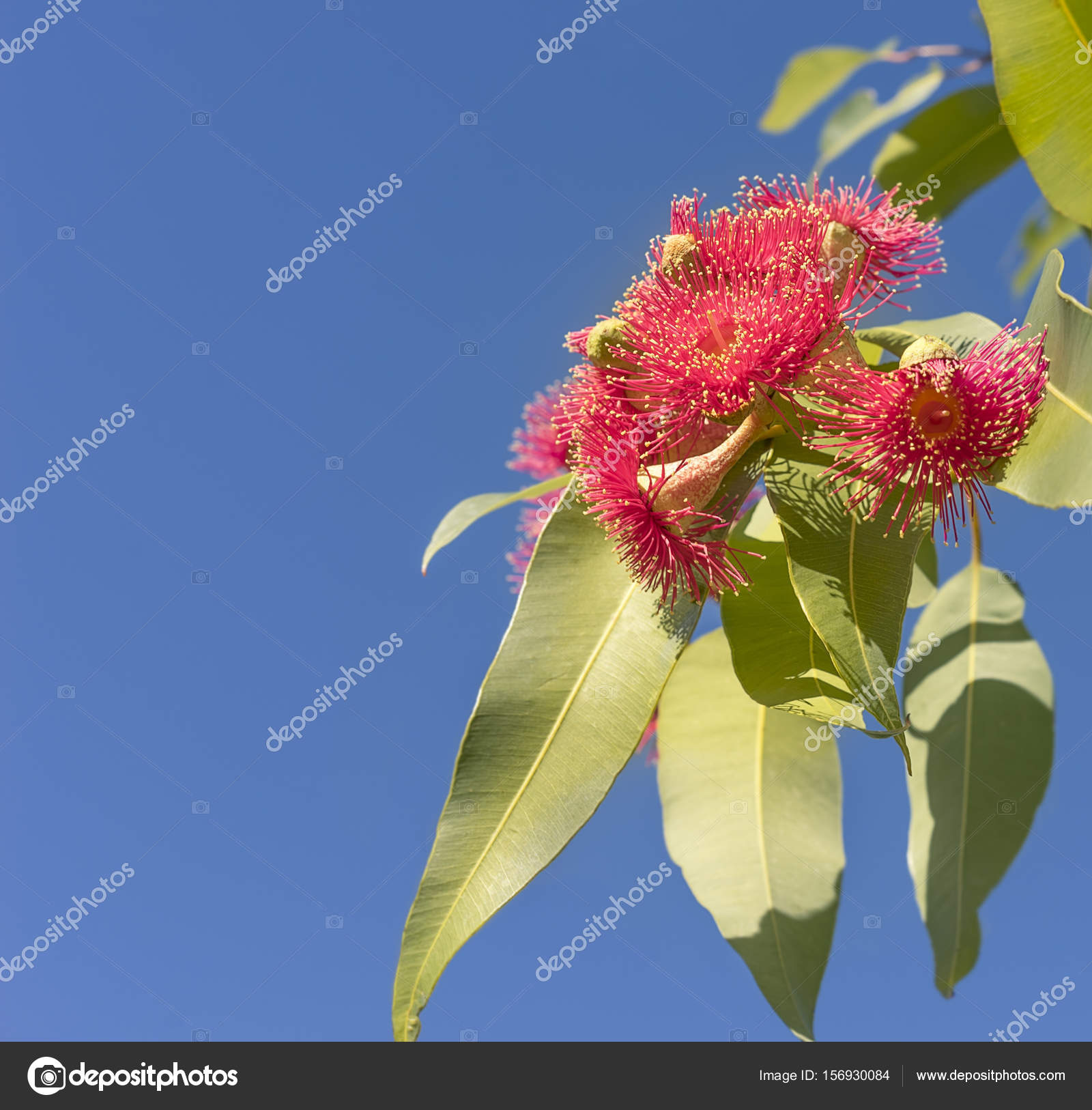 Beautiful Red Flowers Of Australian Native Gum Tree Stock Photo