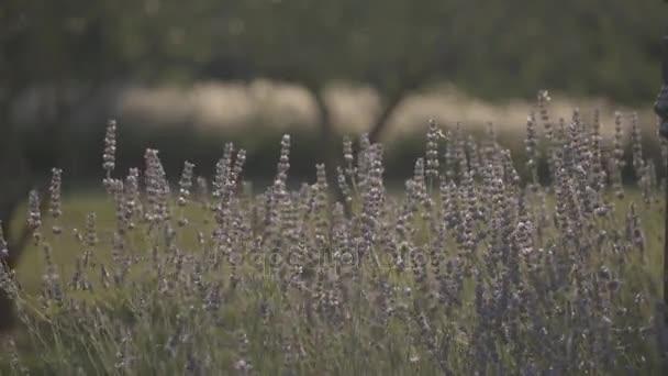 Pěstování levandule květiny v poli