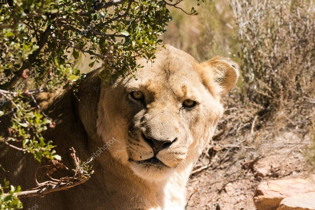 Close up portrait of a female lioness