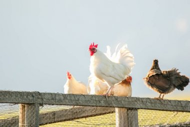 image of a chicken on a farm