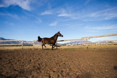 thoroughbred  stallion running