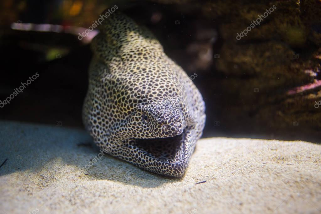 honeycomb moray eel laying in its cave