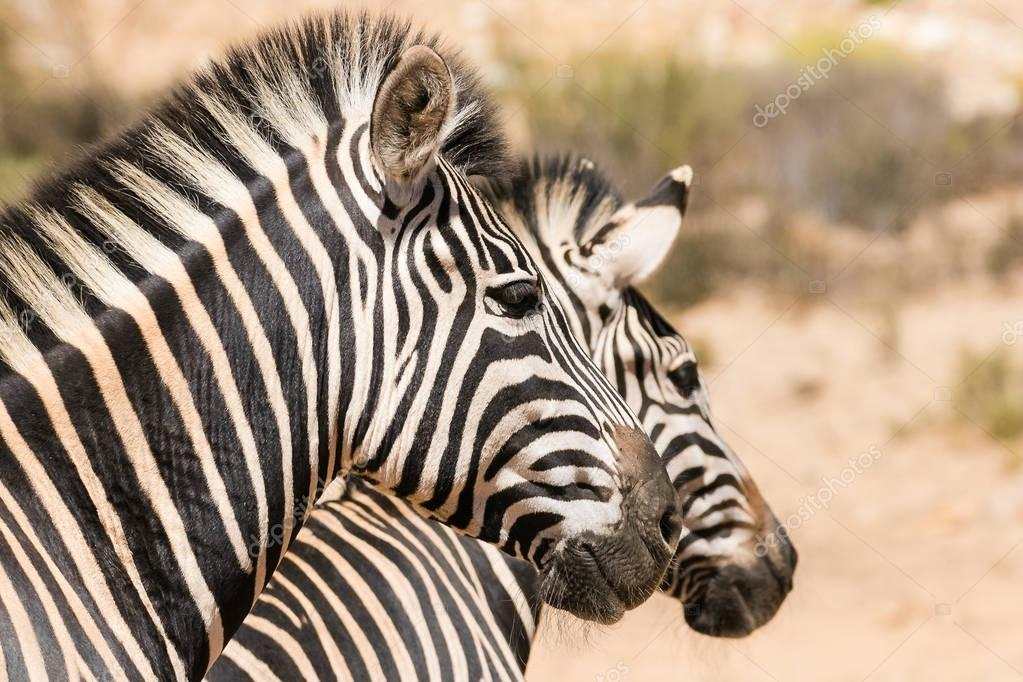Close up image of a group of zebras