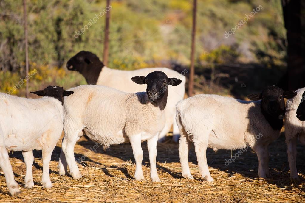 Dorper Sheep Rams