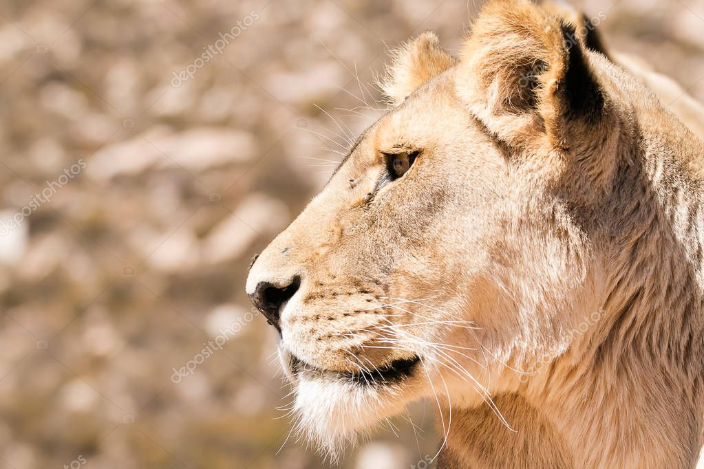 Close up portrait of a female lioness