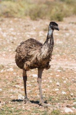 Close up view of an Emu