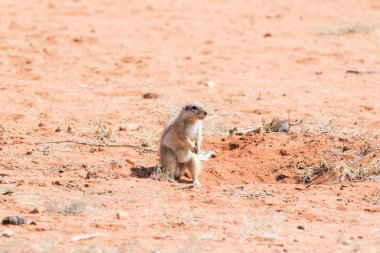 ground squirrel sitting at its burrow