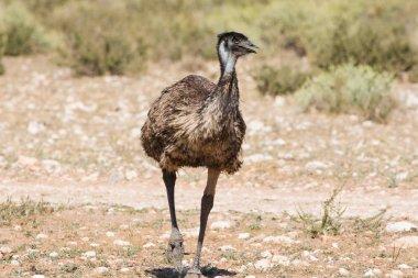 Emu walking in nature