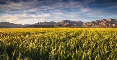 Golden sunset over a wheat field