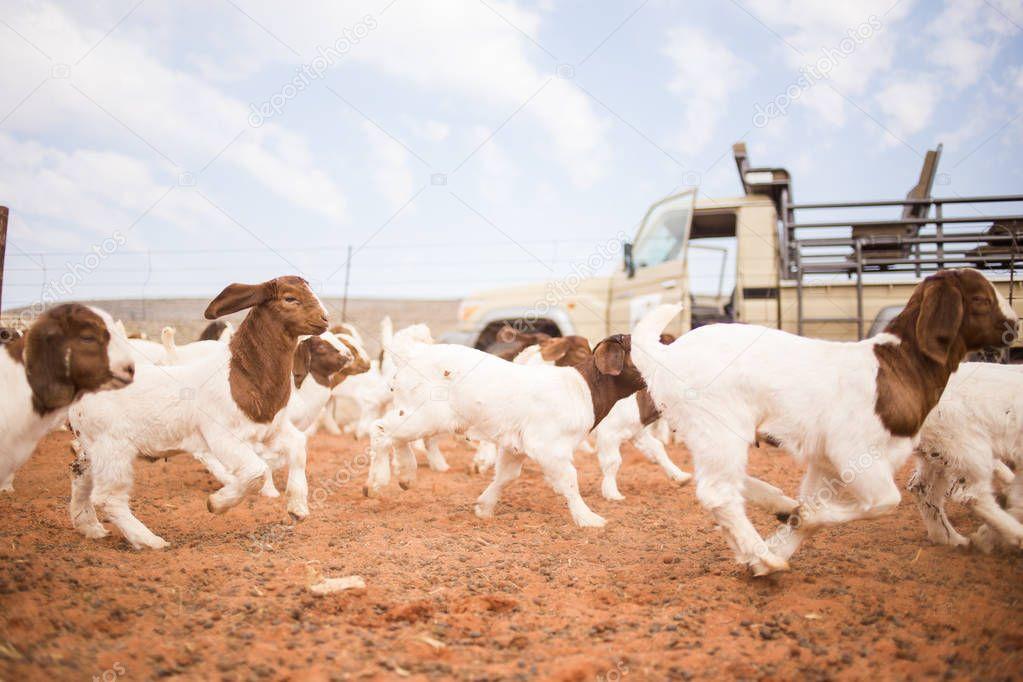 Calfs calving on farm