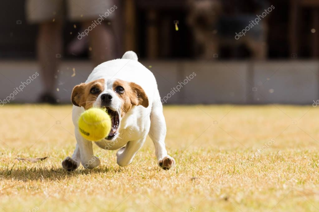 action photo of a Jack Russel