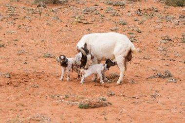 goat kids  on a farm i