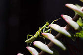 Fotografie Praying Mantis zu Fuß auf einer Anlage