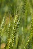 Mladá Zelená pšenice rostoucí