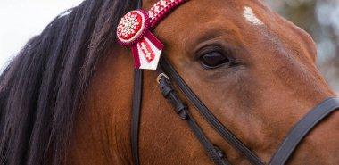 Close up of a thorough bred horse