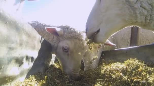 Schafe essen auf Bauernhof in Südafrika