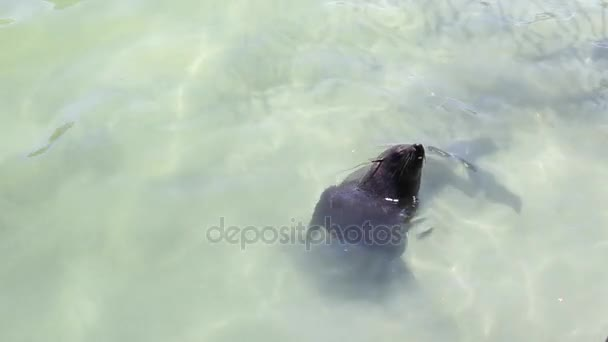 Cape fur seal playing in the shallow water