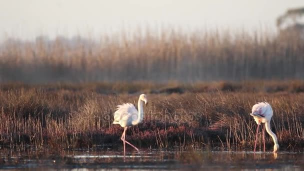 greater flamingos wading