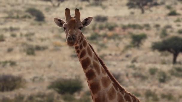 Divoké žirafa v Jižní Africe