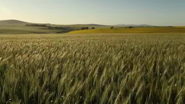pohled na pole pšenice v regionu Swartland