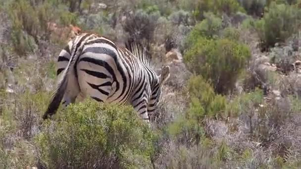 Horská Zebra chůzi